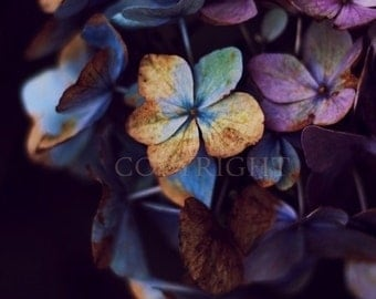 Hydragena Dream - Fine Art Photography Print - 8x8 12x12  8x10 8x12 - Photography - black - Lilac - Purple - Blossoms - Print flower floral