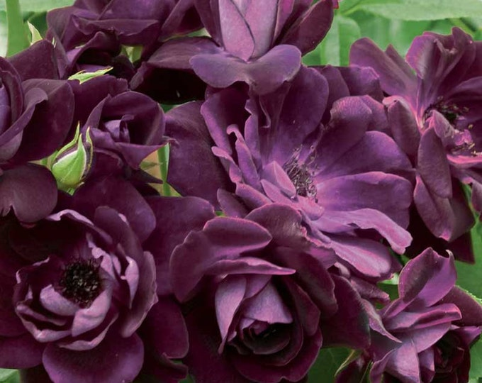 Burgundy Iceberg Rose Plant Floribunda Rose Organic Grown - Shipped Potted- Own Root Non-GMO