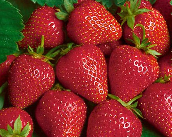 Ft Laramie Strawberry Plants 20 Organic Bare Root Plants Everbearing Shipping Now