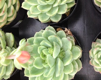 Succulent plant, Echeveria Lime and Chili. Beautiful rosette succulent with pale yellow colored blooms.
