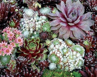 Sempervivum Seeds - Species Mix,SUCCULENT Seeds, Commonly called Hens and Chicks- Hardy Perennial !