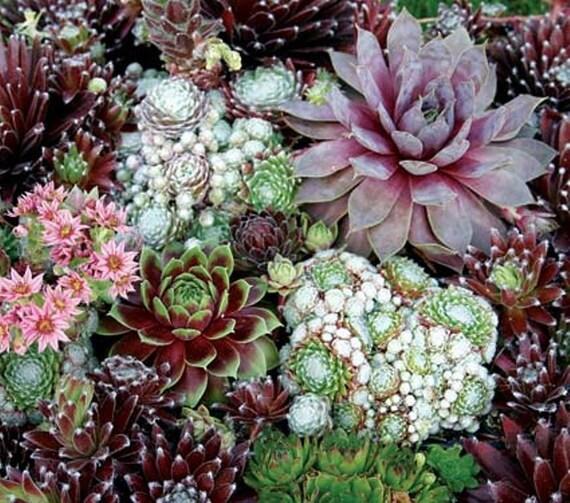 Sempervivum seeds species mixsucculent seeds commonly - Infojardin cactus ...