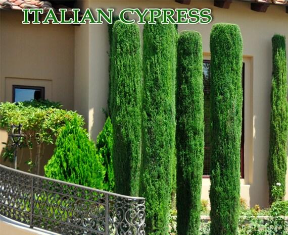 italienische zypresse baum samen zypressen von caribbeangarden. Black Bedroom Furniture Sets. Home Design Ideas