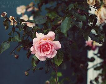 ROSE photography print, soft urban flower landscape, 8x12