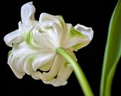 White Parrot Tulip #001, fine art flower photography nature photograph, wall art print home decor