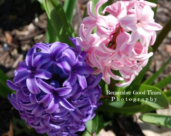 Beautiful Spring, Hyacinth flowers, RGTPhotos, Purple and Pink, Blossoms, Greeting Card, Wall Art Photography,