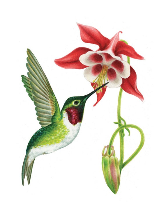 Hummingbird Drawings Step By Step: Items Similar To Hummingbird And Columbine Flower Digital
