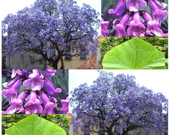 Kiri Princess Tree Seeds - Foxglove Empress Seed - Fresh Bonsai - Paulownia tomentosa - PINKISH LAVENDER BLOOMS - Zone 5 - 8