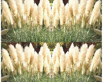 WHITE PAMPAS GRASS seeds - Ornamental Decor - Perennial In Zones 7 - 10