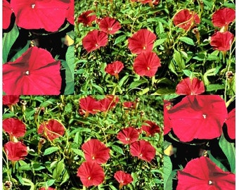 Scarlet O'Hara Morning Glory Flower Seeds ~ Extended Blooms - RED SCARLET BLOOMS Are Easy To Grow
