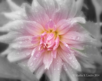 Dahlia... Limited Edition Fine Art Original Photography Print, Art Print, Flowers
