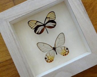 Real Butterfly Framed taxidermy - Children Education - Collectibles - Home Decoration