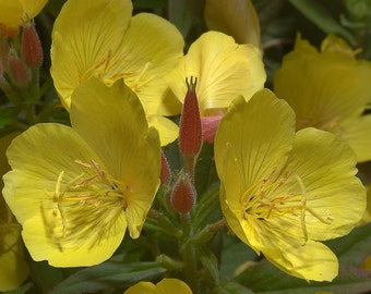 Yellow Evening Primrose ~4 live plants ~Perennial~ Bare Root ~Attracts Birds ~Fragrant ~Drought tolerant