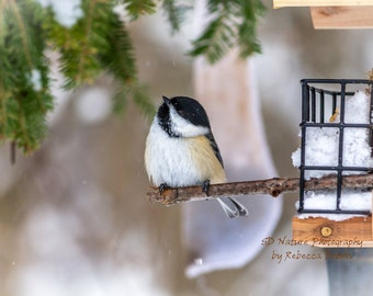 Nature Photography, bird art, bird photography, 8x10, 13x19, 5x7, 8.5x11, Black-capped Chickadee