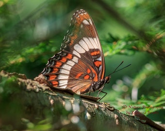 Butterfly Photography, Butterfly art, 8x10, 13x19, 5x7, 8.5x11, White Admiral in pine