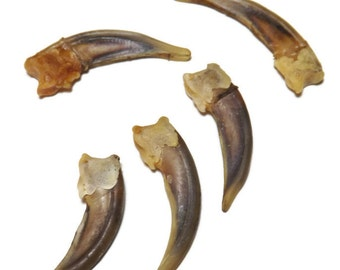 """2 Real Badger Claws - Approx 1 1/2"""" in length - Native American Crafts & Jewelry - Undrilled, cleaned, - ready to Use - Rendezvous, Pow Wows"""