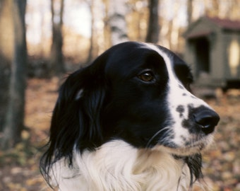Black and white spaniel and doghouse portrait
