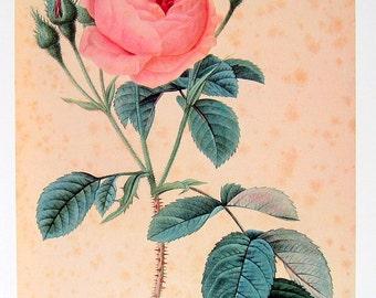 Rosa centifolia Muscosa - 1979 Vintage Redoute Flowers Book Print  p192