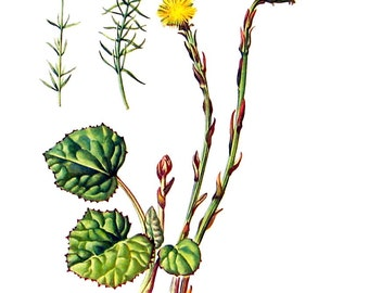 Sclerolepsis, Coltsfoot Flowers - Botanical Print - 1954 Vintage Book Page - 11 x 8