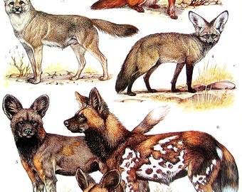 Animal Print - Foxes - 1973 Vintage Encyclopedia Print Book Page 2 Sided