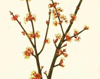 Flower Print - Red Maple - Vintage Wild Flower Print - Botanical Book Print - Wild Flowers of America - Winterberry - Mary Vaux Walcott