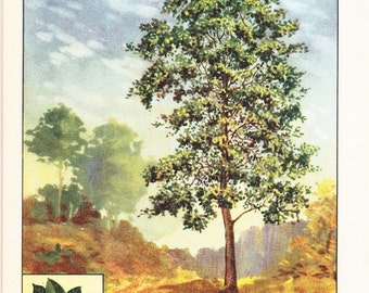 1926 Botany Print - Persimmon Tree - Vintage Antique Book Art Illustration Nature Natural Science Great for Framing