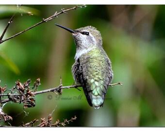 Annas Hummingbird Fine Art Photograph - Hummingbird Photos - Fine Art Hummingbird Photos - Photos Hummingbirds - Anna's Hummingbirds Photos