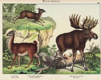 1886 Amazing DEER print,  fine chromolithograph, Moose, elk, llama, 126 years old large print
