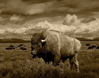American Buffalo Bison in Sepia by the Teton National Park in Wyoming No.SP6798 A Wildlife Animal Landscape Photograph