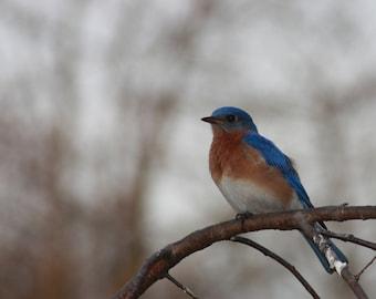 Bluebird Photo