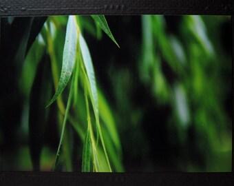 "Leaves Photo Card w/ Matching Black Envelope: ""Drifting Willow"""
