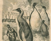 1883 Penguins Antique Print, Victorian Era Art,  Old Engraving, Brehm, Bird Print