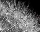 B&W Dandelion Seed Head Close-up - metallic macro - 8x8 photograph