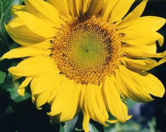 Sunflower (LOVE)