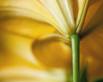 Wonderful Yellow Lily Flower Color Photograph - Blossoms & Petals