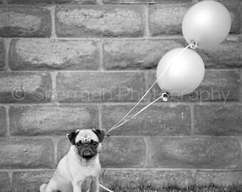 Pug Photography - Pug Print - Pug Balloons - Dog Print Black and White - 8x10 8x8 10x10 11x14 12x12 20x20 16x20 - Photography