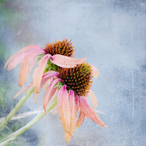 Echinacea. Medicinal Flower. Blossoms. Nature. Botanical Print by OneFrameStories.