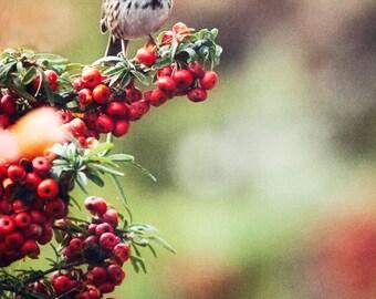 Bird, Berries, Red, Nature, Holiday, Christmas, Photographic Print, Kristine Cramer Photography