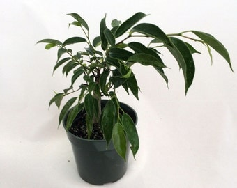 """Oriental Weeping Fig Tree - Ficus - Bonsai or House Plant - 4"""" Pot"""