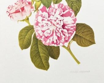 Charles Raymond, Vintage 1950s Botanical Rose Print on High Quality Art Paper, Rosa Gallica Camaieux