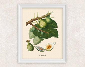 Fig Fruit BOTANICAL ART - Kitchen Decor - 8x10 PRINT - Green Fruit - Home and Garden - Antique Artwork - Item #115