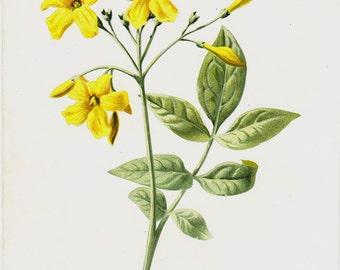 1890 Original antique botanical print. yellow jasmine. Fine old lithograph