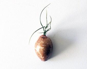 gastropod friend // air plants // by robincharlotte