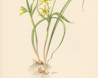 1955 Yellow Star-of-Bethlehem, Antique Print, Vintage Lithograph, Gagea pratensis, Wiesen-Gelbstern, Liliaceae, Botany, Botanical Print