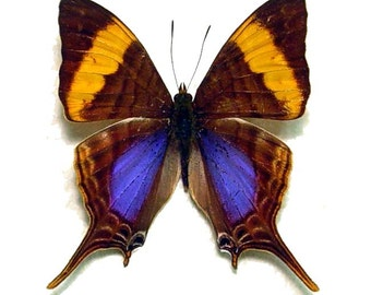 Real Marpesia corinna Butterfly, spread for your project or laminated or unmounted