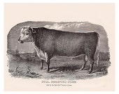 antique illustration of a Bull, Hereford breed, vintage printable home decor, no. 707