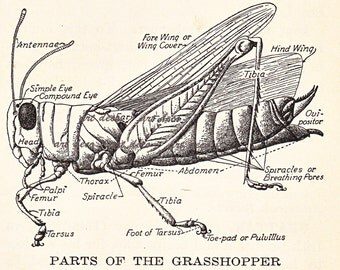 Parts of The Grasshopper, cool old dictionary illustration,digital collage sheet no. 858