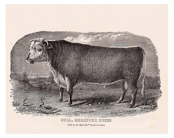 antique cow print, Hereford breed bull, vintage printable home decor, no. 707
