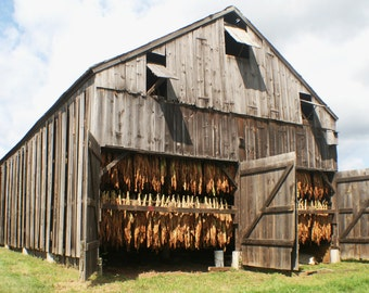 Tobacco drying in barn stock photo image free use