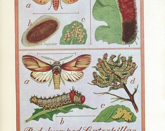 Vintage Book Plate - Wooly Bear Caterpillar / Caterpillars / double sided / Insects / Garden Pests